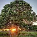 Oak At Sunset by Clyde Scent