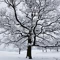 Oak by Gabriela Insuratelu