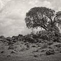 Oak In Rock Field by Jim And Emily Bush