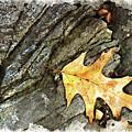 Oak Leaf On The Rocks W C by Peter J Sucy