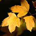 Oak Leaf Trio by Norman Andrus