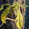 Oak Leaves In May Dawn Light by Kent Lorentzen