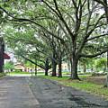Oak Lined Drive by Francesco Roncone