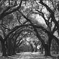 Oak Lined Drive Way, Coastal, South Carolina  by Tim  Polen