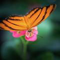 Oak Tiger Butterfly- 2 by Calazone's Flics