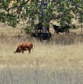 Oak Tree And The Cows by Douglas Craig