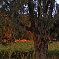 Oak Tree And Vineyards In Knight's Valley by Charlene Mitchell
