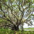 Oak Tree In Botany Bay Plantation  by Michael Ver Sprill