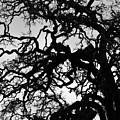 Oak Tree In Winter Detail - Amador County, California by Steve Ellison