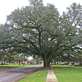 Oak  Tree  Jennings  Louisiana by Carl Deaville