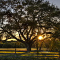 Oak Tree Sunset by Mike Harlan