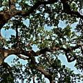 Oak Tree Three by Diana Hatcher