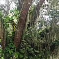 Oak Tree With Spanish Moss by Aimee L Maher ALM GALLERY