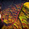 Oakleaf Hydrangea Leaf In Fall by Keith Smith