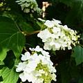 Oakleaf Hydrangea by Warren Thompson
