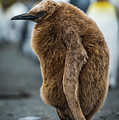 Oakum Boy King Penguin Asleep On Beach by Ndp