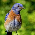 Obese Bluebird by Jean Noren