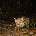 Ocelot Crouching At Night Looking For Food by Ndp