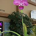 Ochid - Rare Phraremipedium by Laurie Prentice
