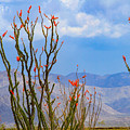 Ocotillo Cactus With Mountains And Sky by Bonnie Follett
