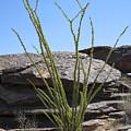 Ocotillo Of Desert Southwest by Kelley King
