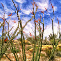 Ocotillos In Bloom by Dominic Piperata