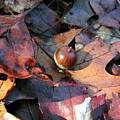 October Acorn by Steven Scanlon