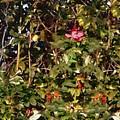 October Rose by RC DeWinter