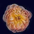 October Rose by Robert Bales