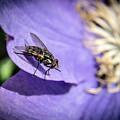 Odd Fly On Clematis by Douglas Barnett