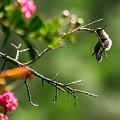 Odd Pose - Hummingbird by Alicia Collins