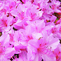 Office Art Azalea Flowers Botanical 31 Azaleas Giclee Art Prints Baslee Troutman by Baslee Troutman