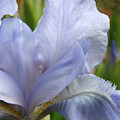 Office Art Blue Iris Flower Floral Giclee Baslee Troutman by Baslee Troutman