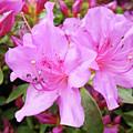 Office Art Pink Azalea Flower Garden 3 Giclee Art Prints Baslee Troutman by Baslee Troutman