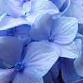 Office Art Prints Blue Hydrangea Flowers Giclee Baslee Troutman by Baslee Troutman