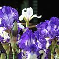 Office Art Prints Iris Flower Botanical Landscape 30 Giclee Prints Baslee Troutman by Baslee Troutman