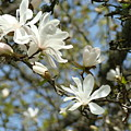 Office Art Prints Magnolia Tree Flowers Landscape 15 Giclee Prints Baslee Troutman by Baslee Troutman