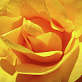 Office Art Prints Roses Orange Yellow Rose Flower 1 Giclee Prints Baslee Troutman by Baslee Troutman