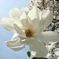 Office Art Prints White Magnolia Flower 66 Blue Sky Giclee Prints Baslee Troutman by Baslee Troutman