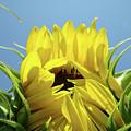 Office Art Sunflower Opening Summer Sun Flower Baslee Troutman by Baslee Troutman