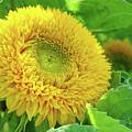 Office Art Sunflower Sun Flowers Giclee Baslee Troutman by Baslee Troutman