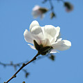 Office Artwork Prints Blue Sky White Magnolia Flower by Baslee Troutman