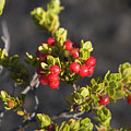 Ohelo Berries by Ron Dahlquist - Printscapes