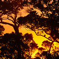 Ohia Trees At Sunset by Greg Vaughn - Printscapes