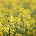 Oilseed Rape by Linda Cooke
