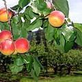 Okanagan Apricots by Will Borden