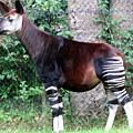 Okapi by Laurel Talabere