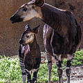 Okapi by Martin Alonso