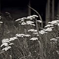 Oklahoma Prairie Flowers by Toni Hopper