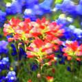 Oklahoma Wildflowers by Toni Hopper